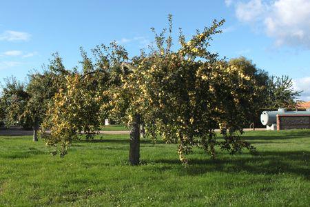 Pommier chargé de fruits à l'automne