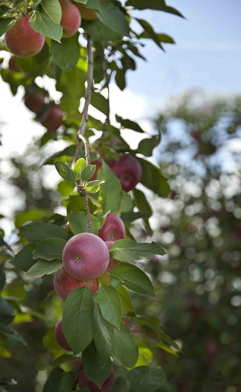 Pommes rouge sur un pommier