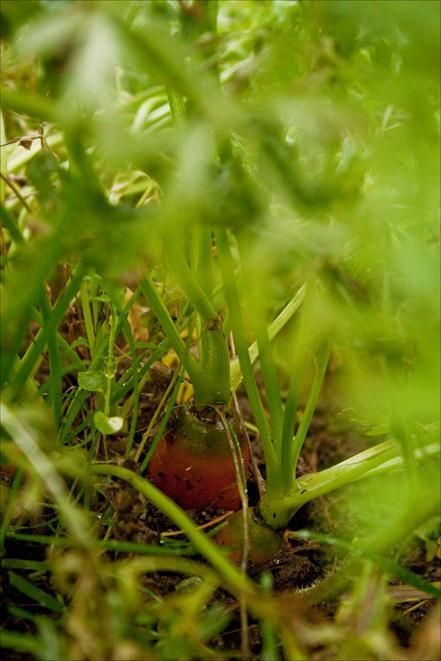 carotte qui pousse jardin potager du château du Gros Chesnay à Fillé-sur-sarthe