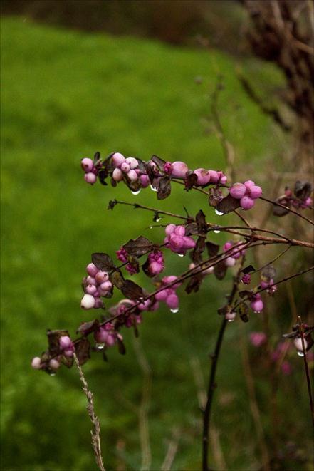 plante d'ornemant jardin potager du château du Gros Chesnay à Fillé-sur-sarthe