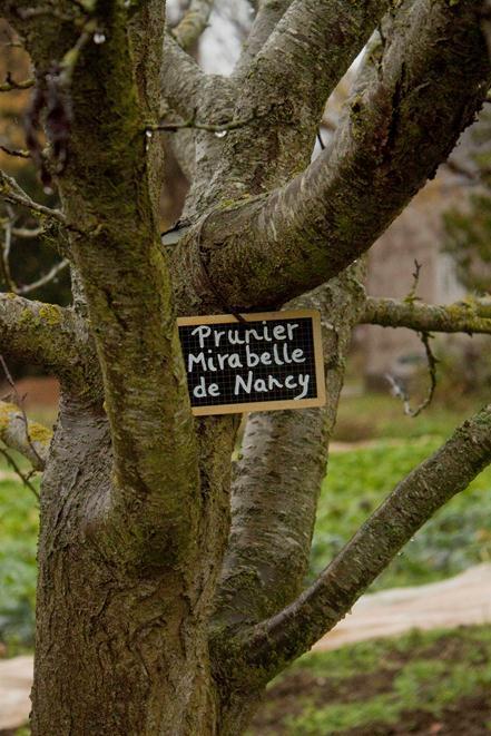 prunier jardin potager du château du Gros Chesnay à Fillé-sur-sarthe