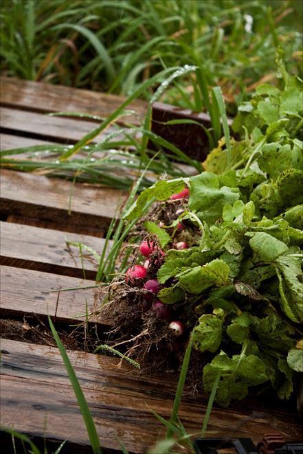 radis jardin potager du château du Gros Chesnay à Fillé-sur-sarthe