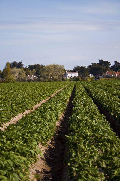 Champ en lignes des buttes de pomme de terre bonnottes de Noirmoutier