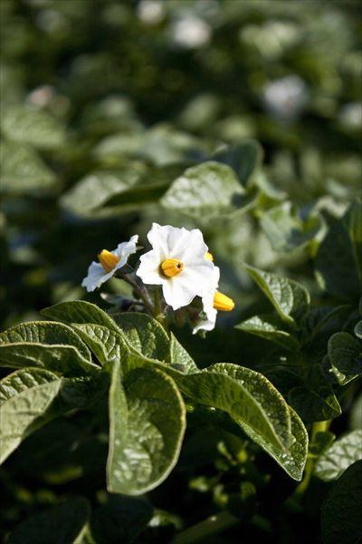 fleur de bonnotte de Noirmoutier
