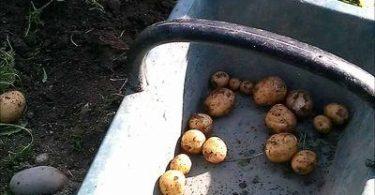 bonnottes de Noirmoutier récoltées dans un panier en bois