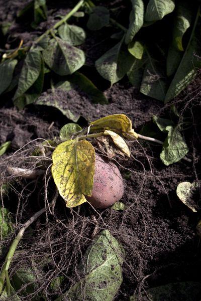 Comment invente t on une nouvelle pomme de terre - Comment cuisiner les pommes de terre de noirmoutier ...