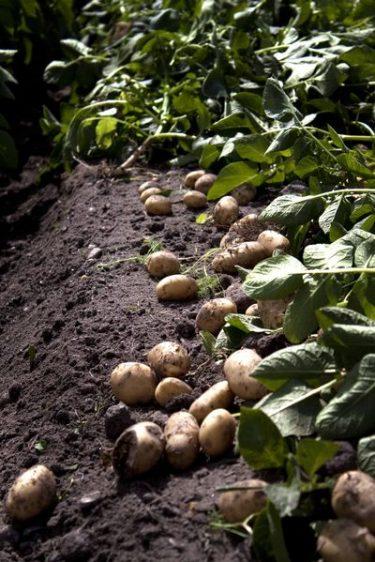 pommes de terre primeurs dans les champs