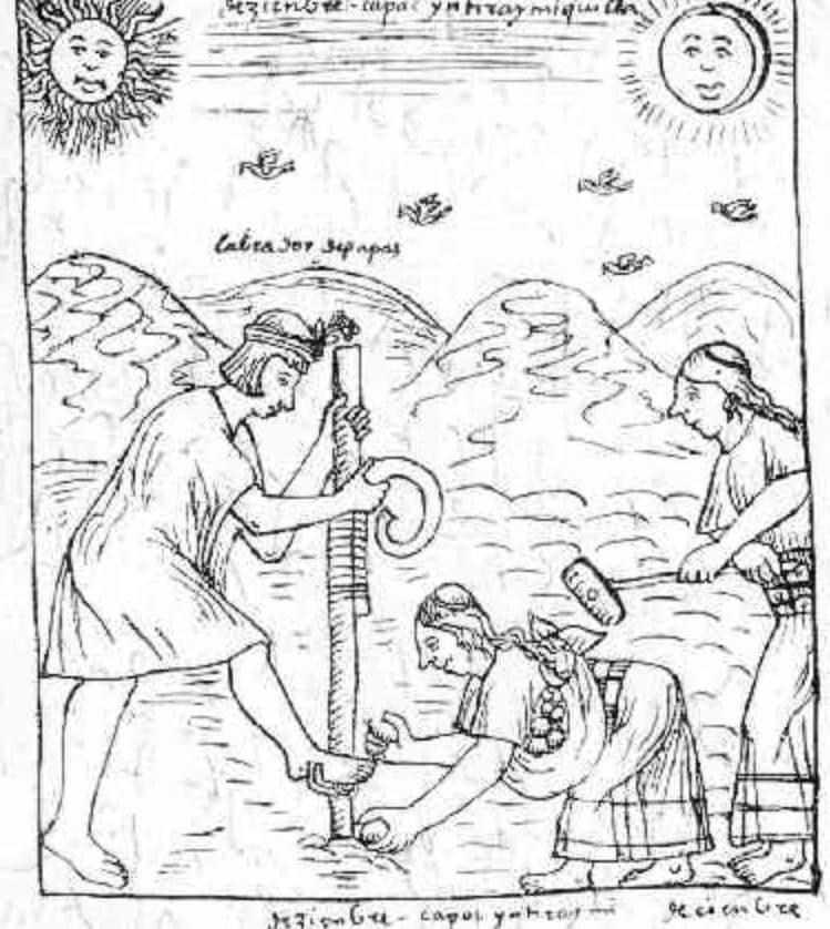 Plantation de pommes de terre chez les Incas