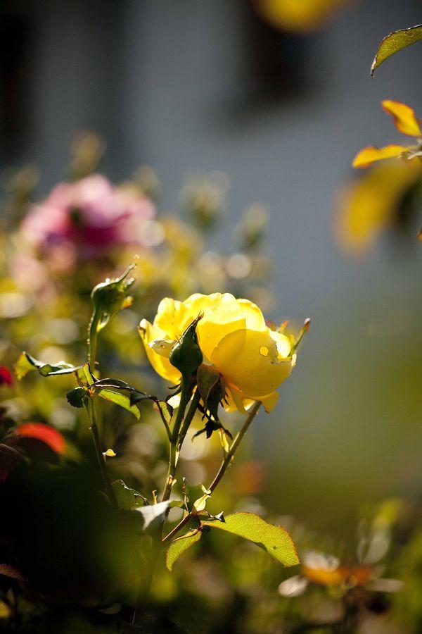 Les roses de Huguette Brard 2
