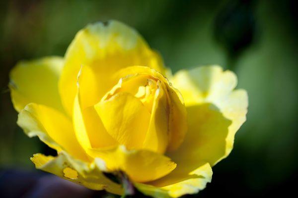 Les roses de Huguette Brard 3