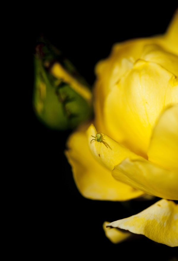 Les roses de Huguette Brard 4