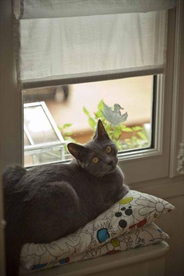 Béryl: Chat Chartreux à la fenêtre