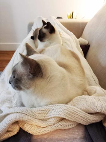 Deux-chats-siamois-Topaze-et-Saphire
