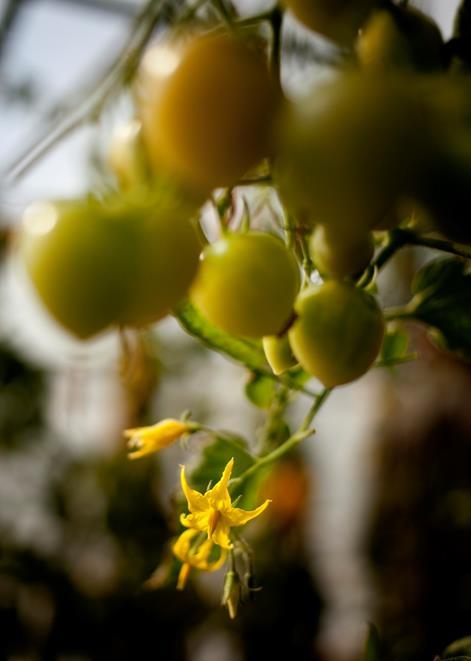 Fleur de tomate
