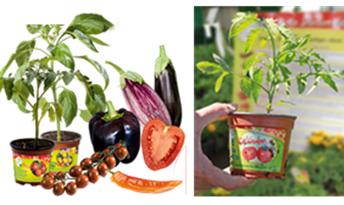 Tomates à planter la Sélection du Chef 1