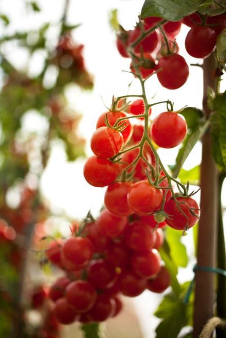 Tomates cerise Pepe très sucrée très goûteuse, un potentiel chain eating