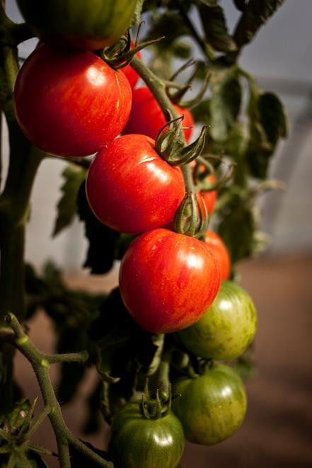 Tomates en essai 3