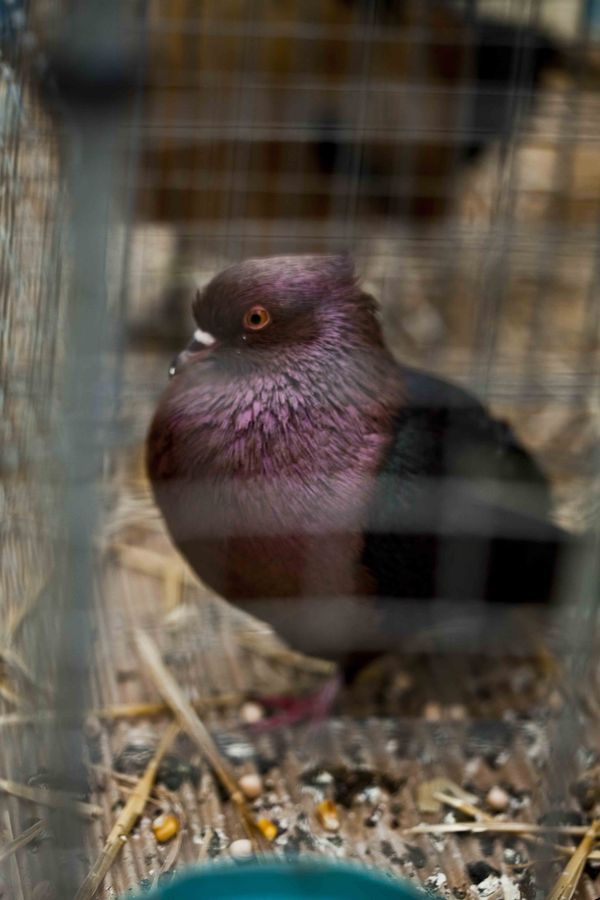 Pigeon décoratif