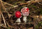 Champignons à Bagnoles de l'Orne: Amanite tue mouche