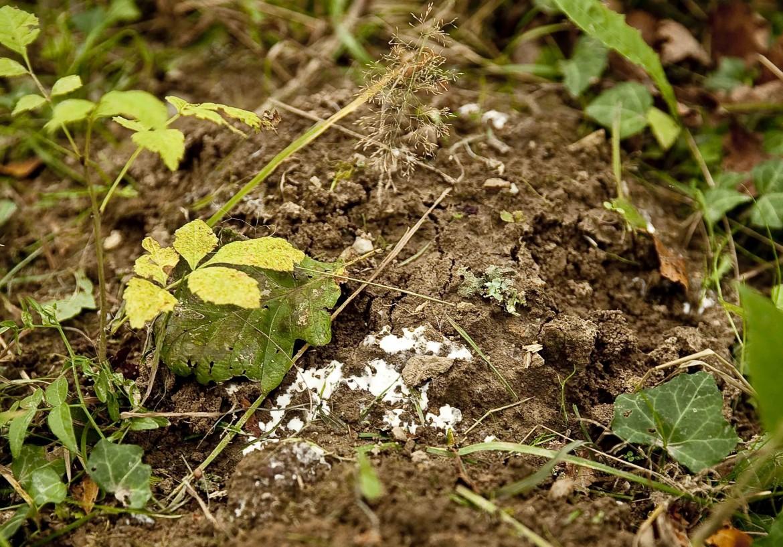 Terre et couche blanche champignons c
