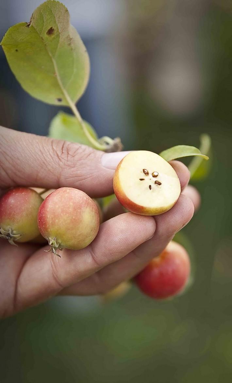 coeur de pommes sauvages