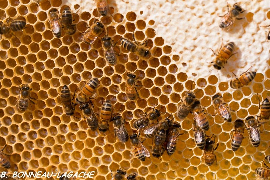 bien choisir le miel le miel frais et ses vertus. Black Bedroom Furniture Sets. Home Design Ideas