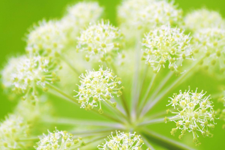 gros plant des ombelles de fleurs d'angélique