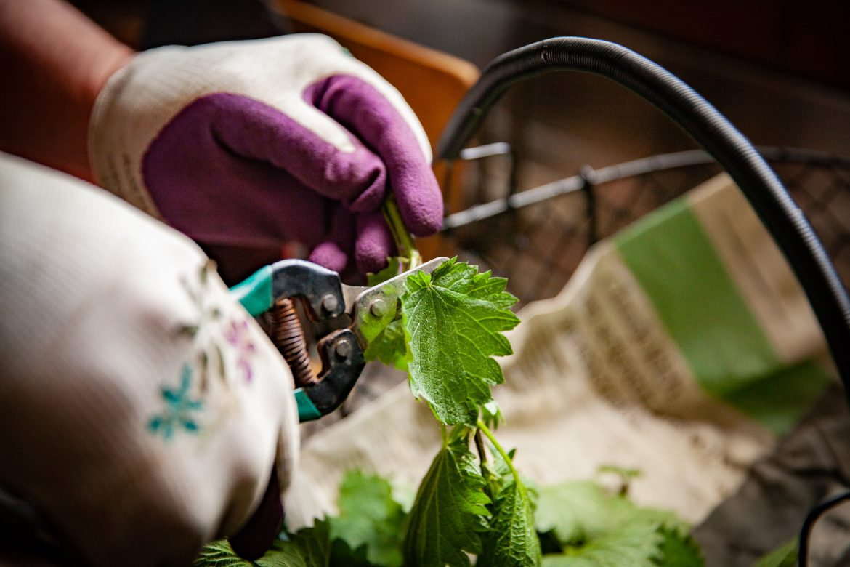 comment préparer l'ortie: couper la feuille à ras