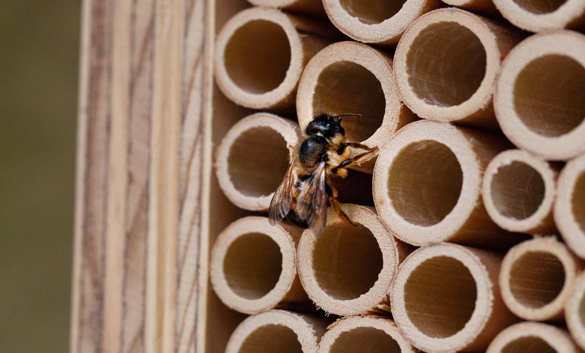 Les abeilles sauvages maçonnes sont des insectes inoffensifs