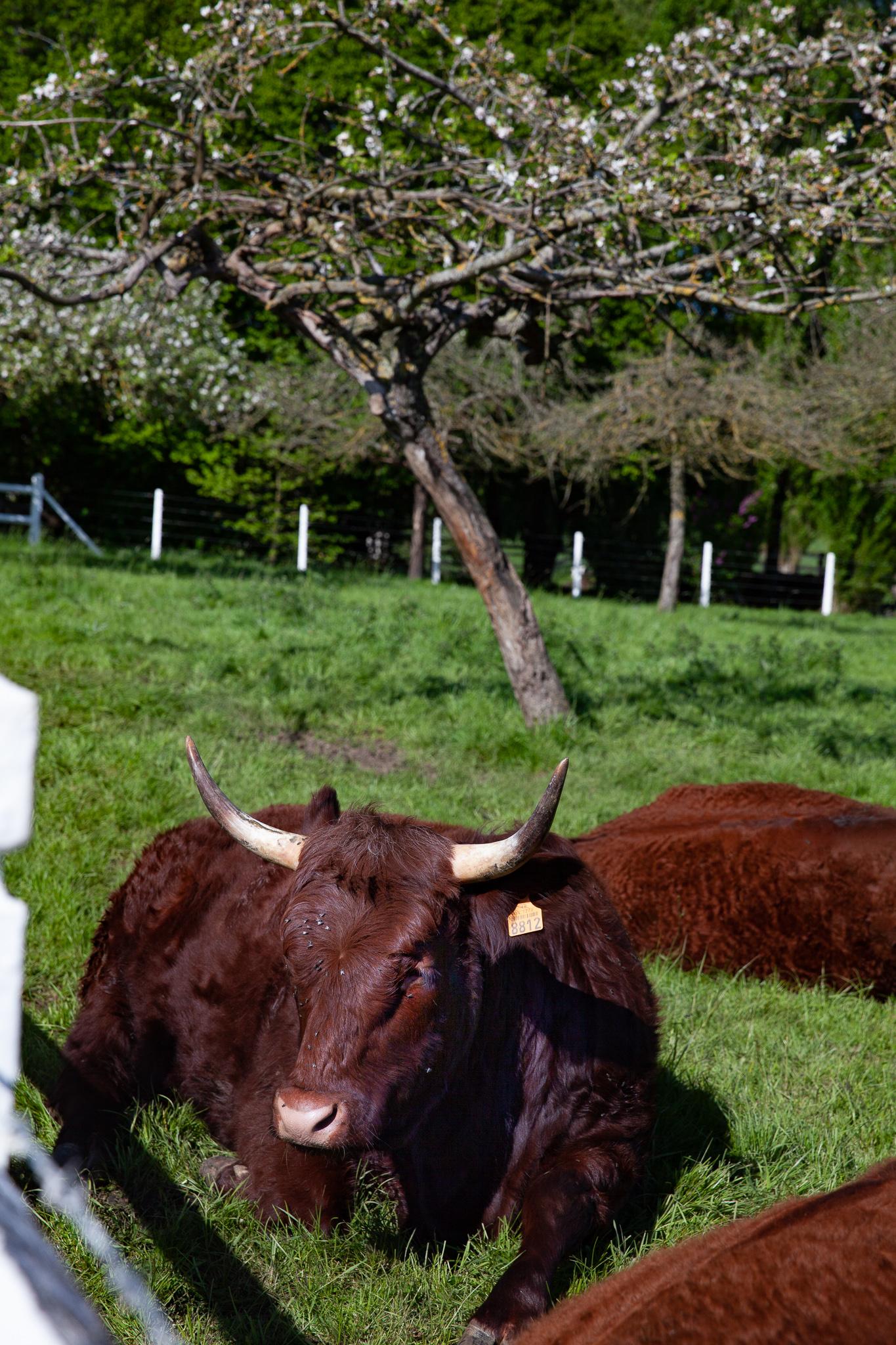 Vaches Salers couchées Pommiers de Livaye Cambremer