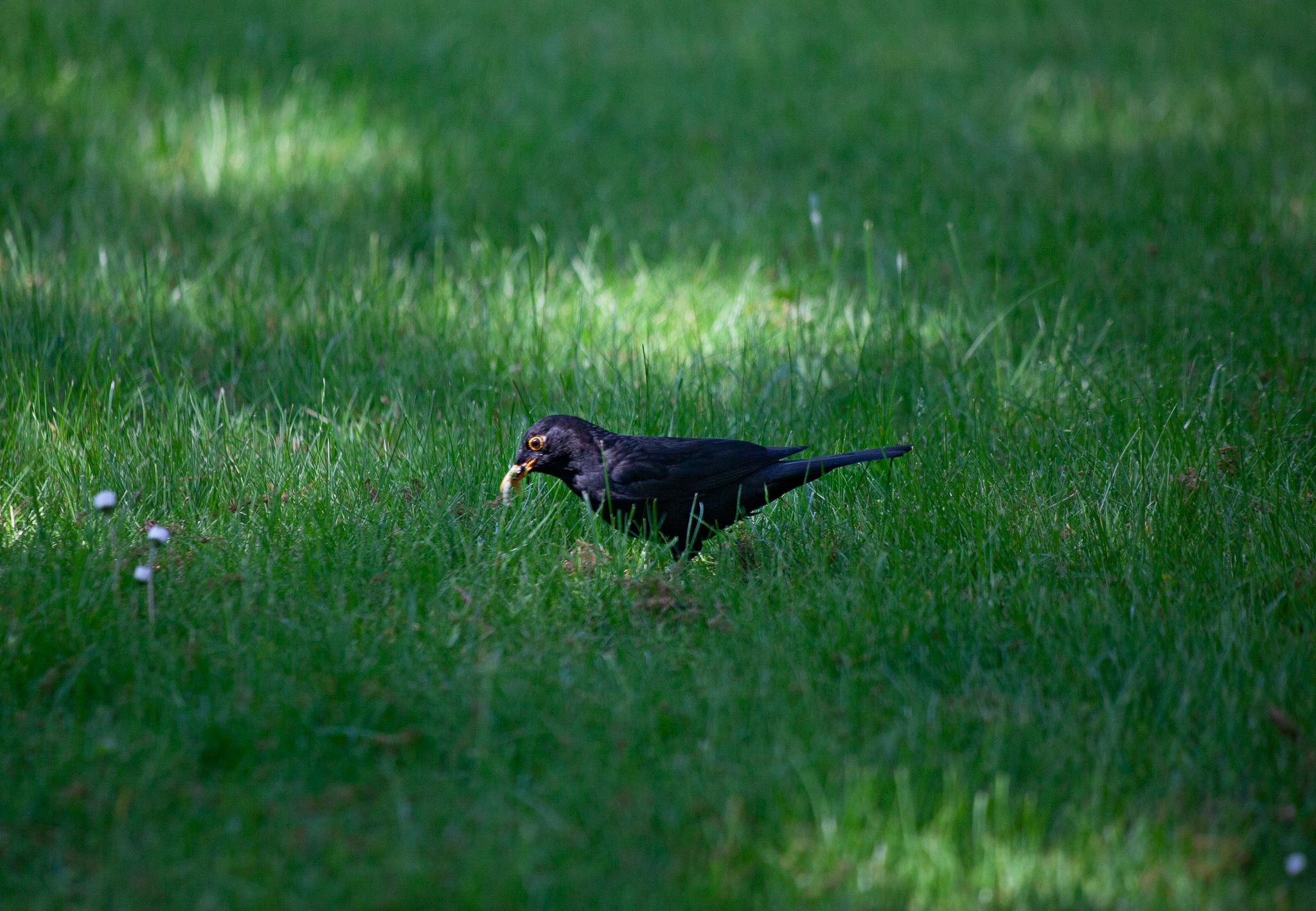 Le merle noir mâle recueille des vers dans la pelouse