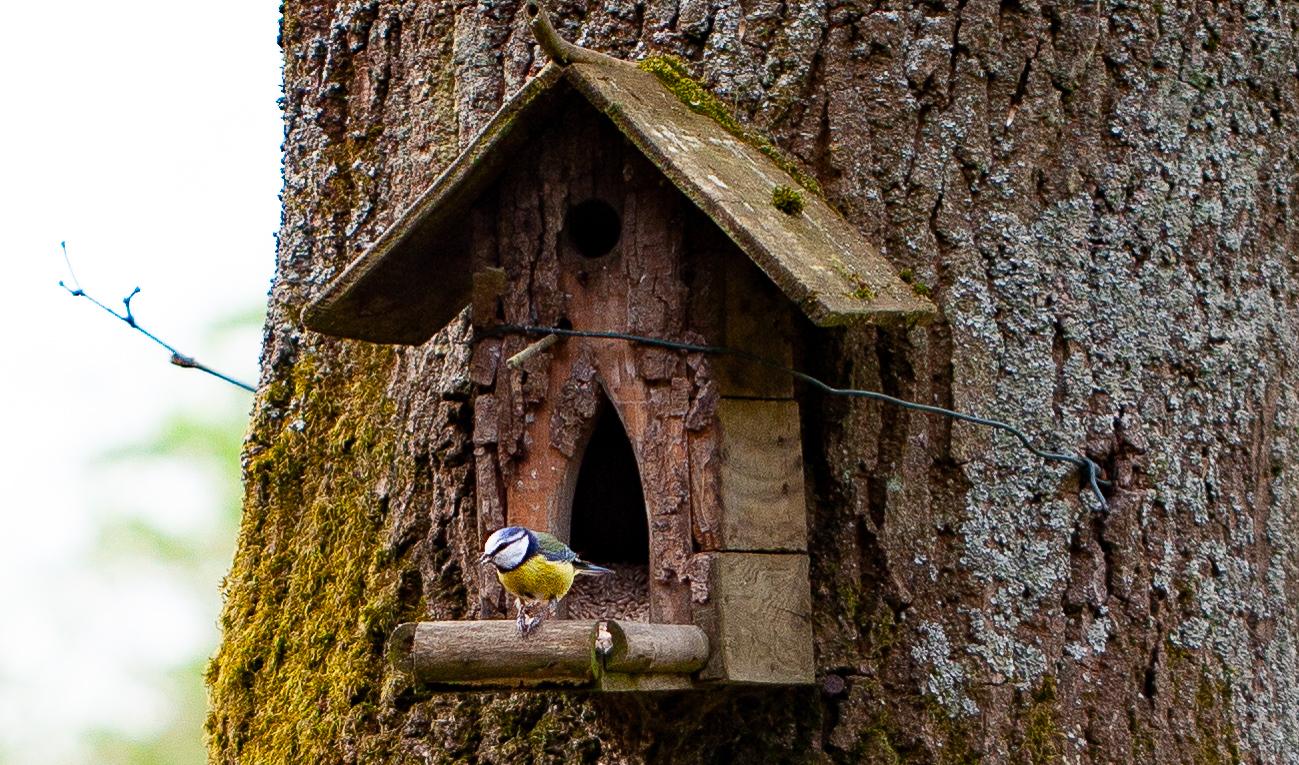 l'un des oiseaux du jardin, la mésange bleue sur le nichoir