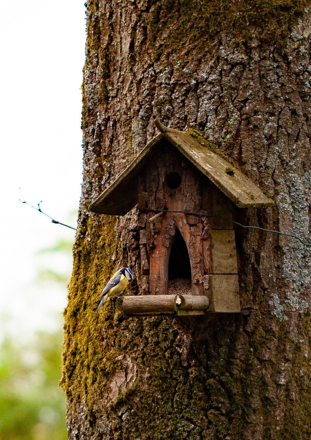 un des oiseaux du jardin, la mésange bleue
