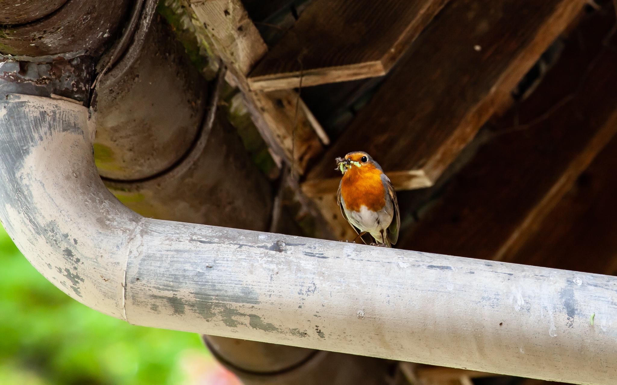 oiseaux du jardin rouge gorge avec des chenilles et des vers dans le bec