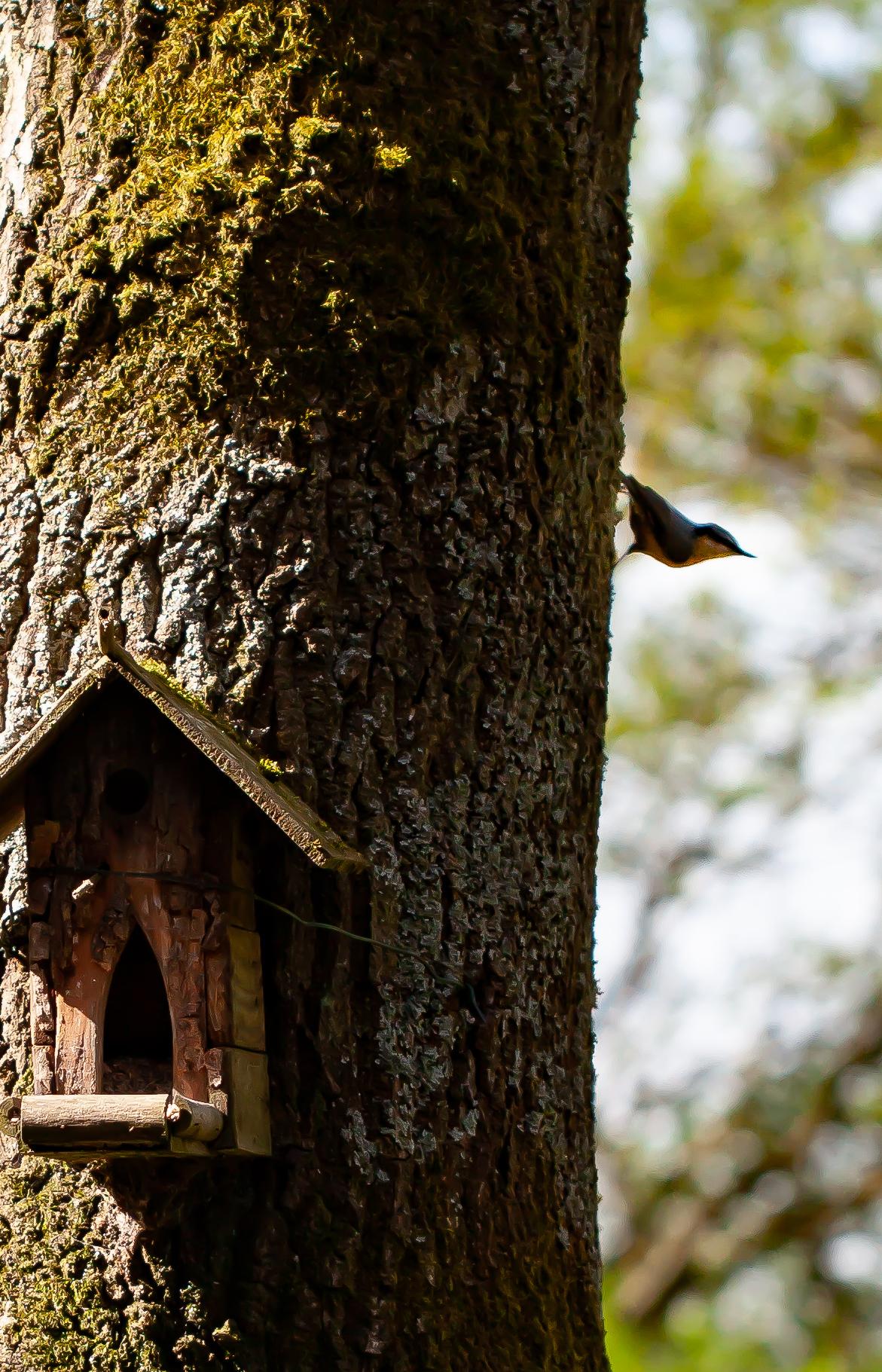 Une sittelle torchepot en ombre sur le tronc de mon arbre, la tête en bas
