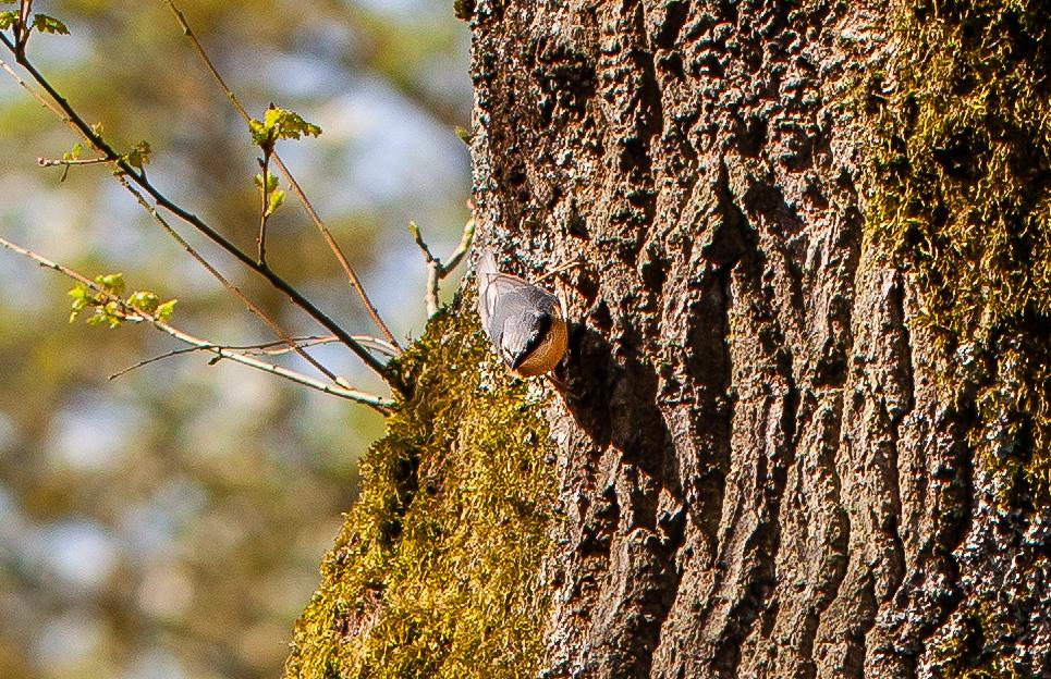 les oiseaux du jardin: une sittelle torchepot sur un tronc de chêne