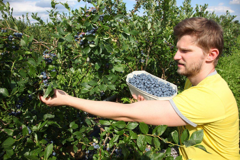 cueillette de myrtilles arbustives ou de bleuet
