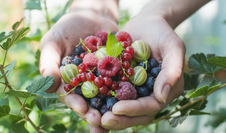 Les fruits rouges à IG bas, myrtilles et frambosies