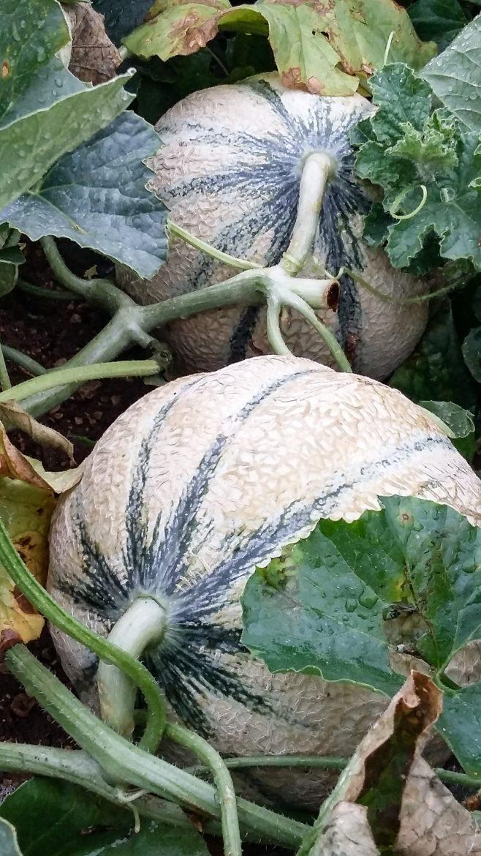 Melons du Haut-Poitou dans les champs