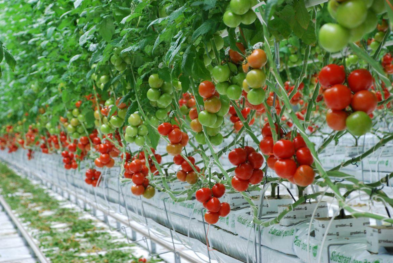 Tomates cultivées hors-sol sur u substrat