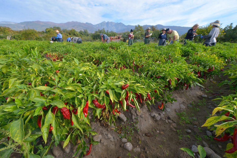 récolte de pimenton