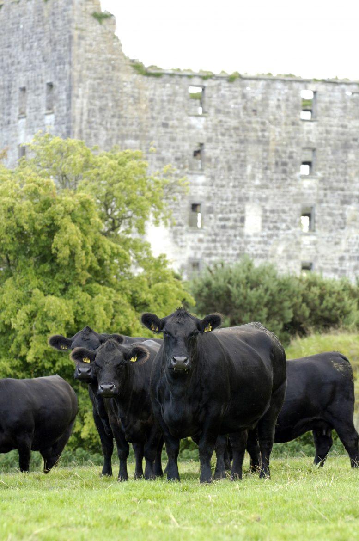 Un troupeau de vaches angus devant les fortifications d'un château irlandais
