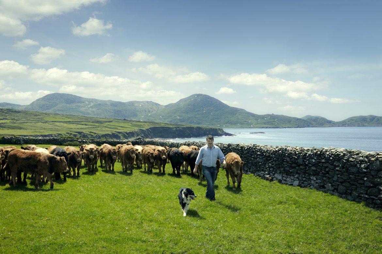 un éleveur irlandais devant sont troupeau de Hereford au bord des côtes irlandaises