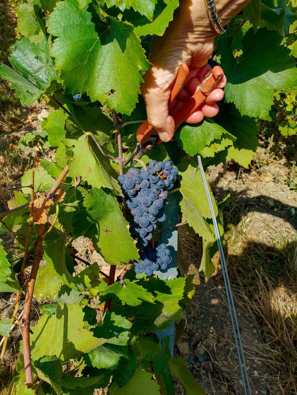 Grappe de pinot noir sur la vigne
