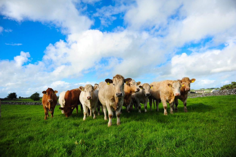 Vaches charolaises et limousines dans un pré irlandais, viande bord bia