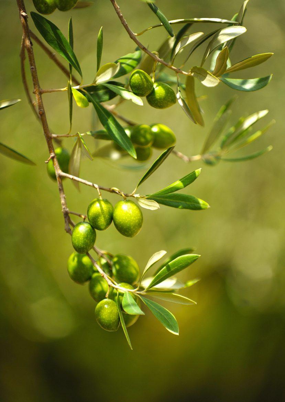 olives vertes sur l'arbre