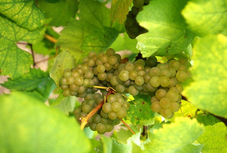 Grappe de raisin de Folle Blanche, le cépage du Gros-Plant
