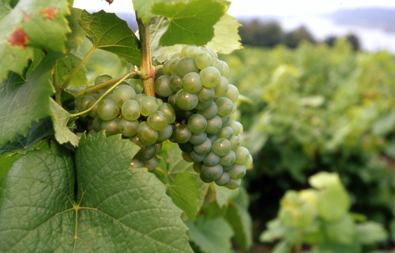 grappe de raisins de Melon de Bourgogne, le cépage du Muscadet