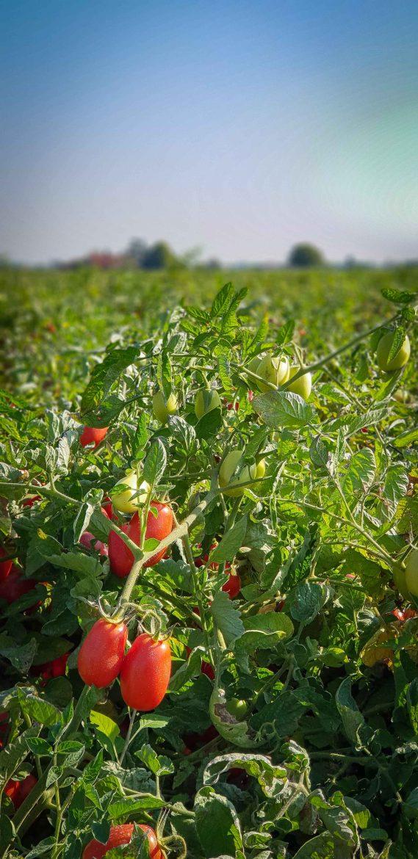 Champs e tomates destinées à Mutti à Parme