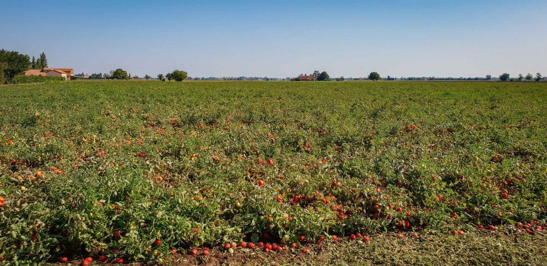 un champ de tomates destinées à l'usine de conserves Mutti à Parme